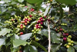 gree-red-coffee-beans-on-tree-honduras