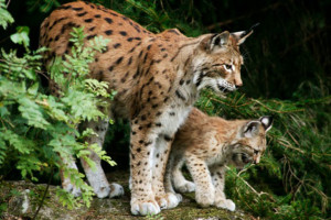 Female lynx with cub, in the forest